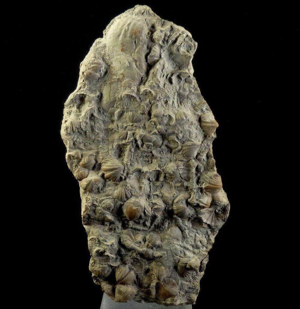 Brachiopodes